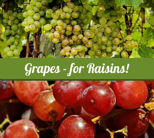 Grapes for Raisins