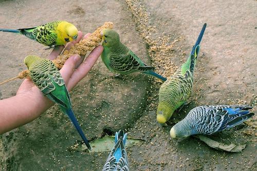 Budgerigars eating millet sprigs