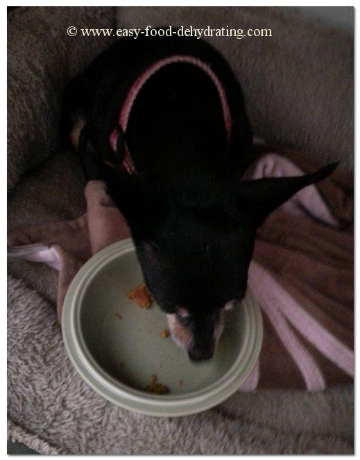 Min Pin eating dog treats