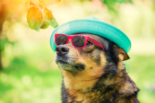 Dog wearing hat and sunglasses