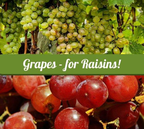 Grapes for Raisins